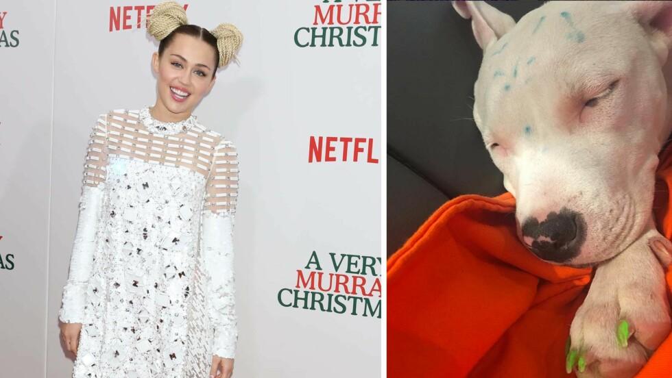FÅR KRITIKK: Miley Cyrus har skapt kraftige reaksjoner på Instagram etter at hun viste frem hunden Milky med fargerike klør og hode. På bildet til venstre er popstjernen på «A Very Murry Christmas»-premieren i New York i starten av desember.  Foto: Rex Features/ Skjermdump fra Instagram