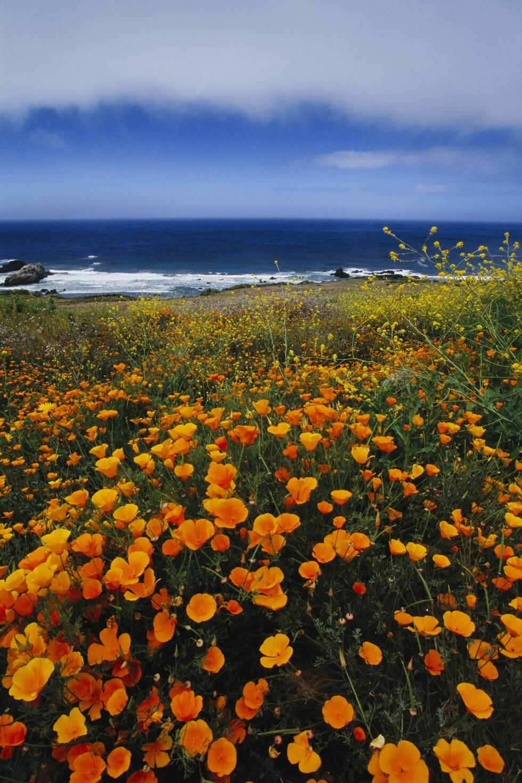 VAKKERT: Kaliforniavalmuer på klippene i Big Sur.  Foto: Mint Images/REX/All Over Press