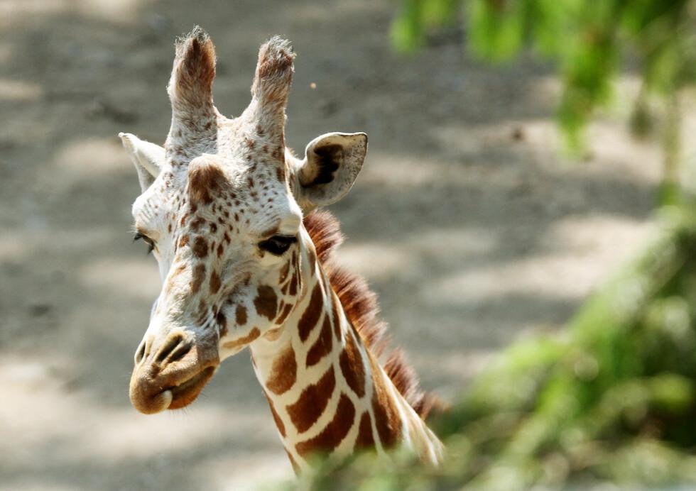 TÅRENE RANT: Elisabeth Nordeng fikk et helt spesielt møte med giraffer, som hun hevder er høysensitive dyr. Foto: ALL OVER PRESS