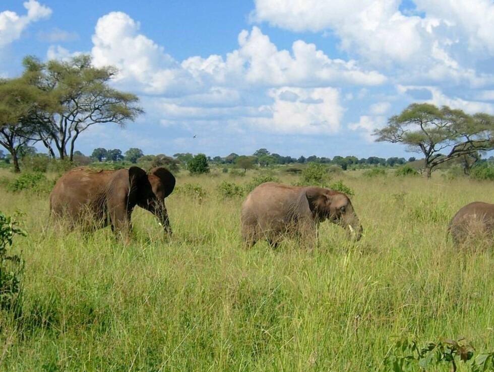 FAMILIE PÅ TUR: Elefantene beveger seg langsomt gjennom Tarangire-parken. Foto: Se og Hør