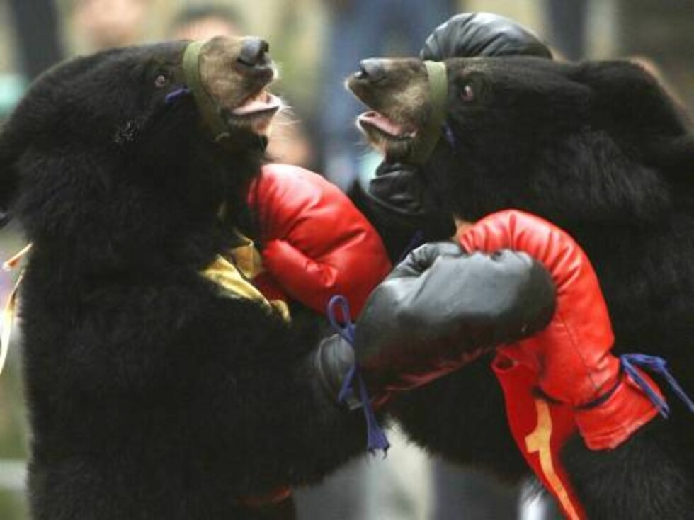 CHONGQING, CHINA - OCTOBER 3: (CHINA OUT) Two moon bear cubs are made to box at Chongqing Wildlife Park on October 3, 2006 in Chongqing Municipality, China. China is celebrating a week-long National Day holiday a time when millions of Chinese travel to ma Foto: All Over Press