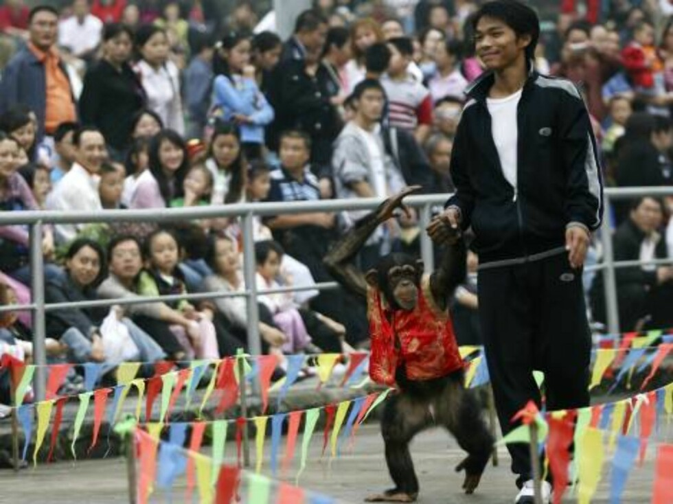 CHONGQING, CHINA - OCTOBER 3: (CHINA OUT) A trainer leads a chimpanzee at Chongqing Wildlife Park on October 3, 2006 in Chongqing Municipality, China. Since October 1, China is celebrating a week-long National Day holiday a time when millions of Chinese t Foto: All Over Press