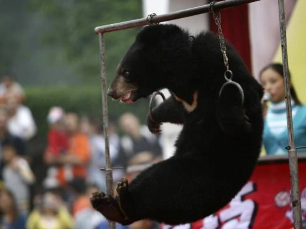 CHONGQING, CHINA - OCTOBER 3: (CHINA OUT) A moon bear cub is made to perform on hoops at Chongqing Wildlife Park on October 3, 2006 in Chongqing Municipality, China. Since October 1, China is celebrating a week-long National Day holiday a time when millio Foto: All Over Press