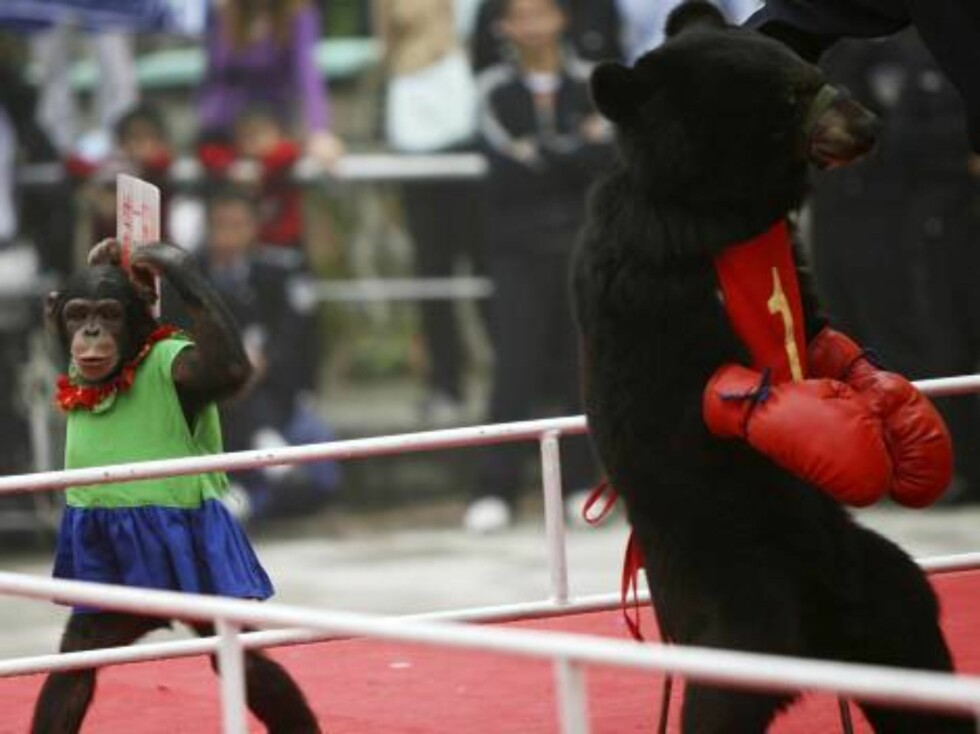 CHONGQING, CHINA - OCTOBER 3: (CHINA OUT) A chimpanzee displays a scorecard as moon bears are made to box at Chongqing Wildlife Park on October 3, 2006 in Chongqing Municipality, China. China is celebrating a week-long National Day holiday a time when mil Foto: All Over Press