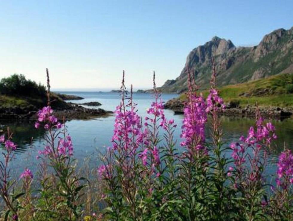 SOMMERLIG IDYLL: Geitrams ved Åsandfjorden i Bø i Vesterålen. FOTO: H.M. DRONNING SONJA Foto: H. M. Dronning Sonja