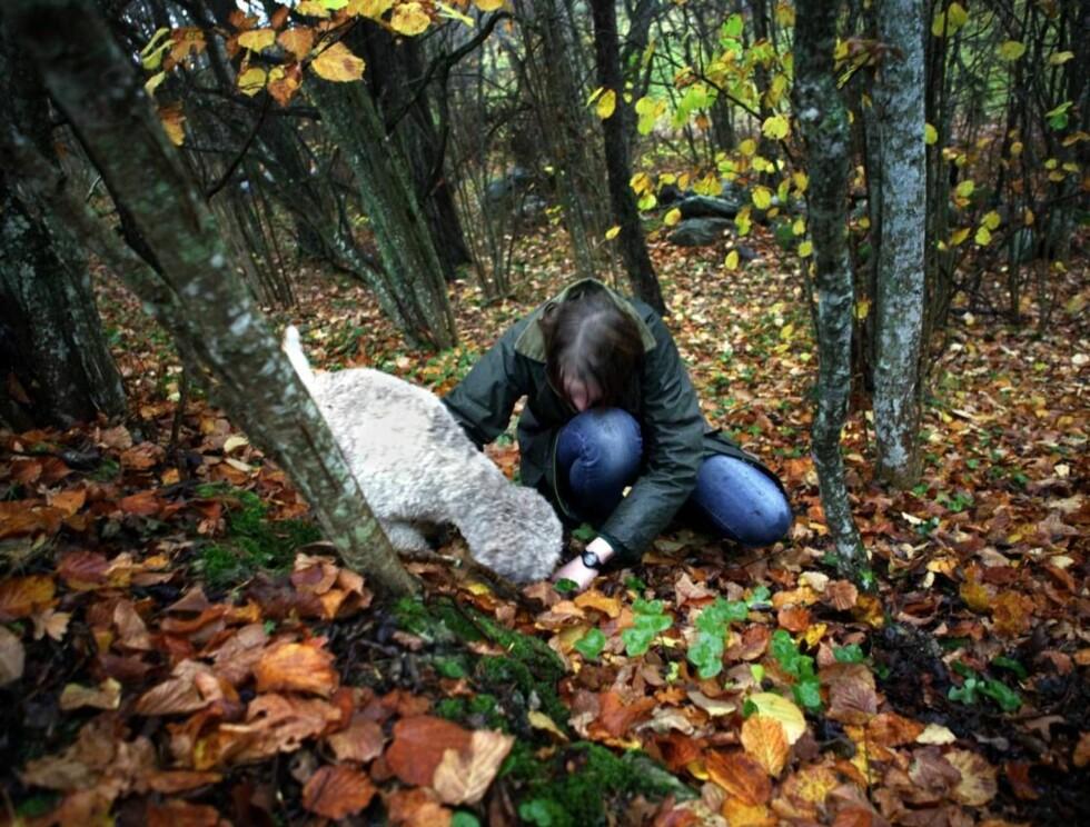 GOD NESE: Uten en godt trent hun med skikkelig luktesans er det ikke snakk om å finne trøfler. De vokser under jorda. Foto: Karl Melander/Gotland Info