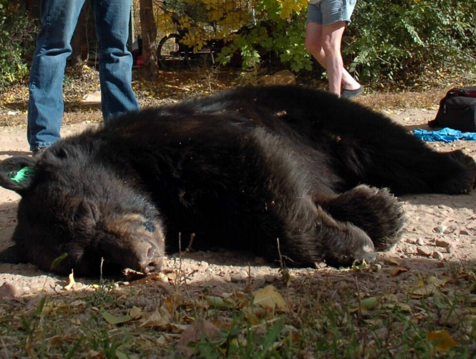 FYLLE-BJØRN: Det var ikke vanskelig for spanskekongen å treffe bjørnen som sov ut bakrusen (illustrasjonsbilde). Foto: AP