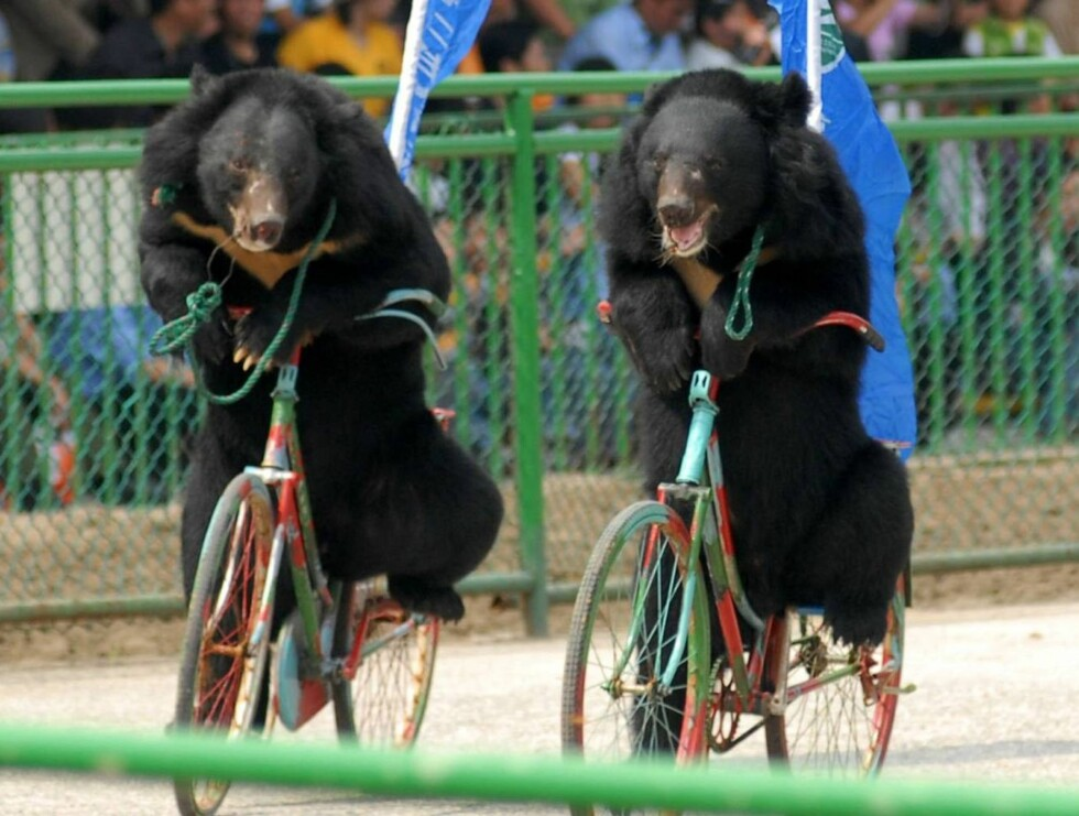 Two bears ride bicycles during a show at the Animal Games in a wildlife park in Nanjing, in eastern China's Jiangsu province Tuesday, Oct. 3, 2006. The show was one of many events held to attract visitors to the park during the week-long National Day holi Foto: AP