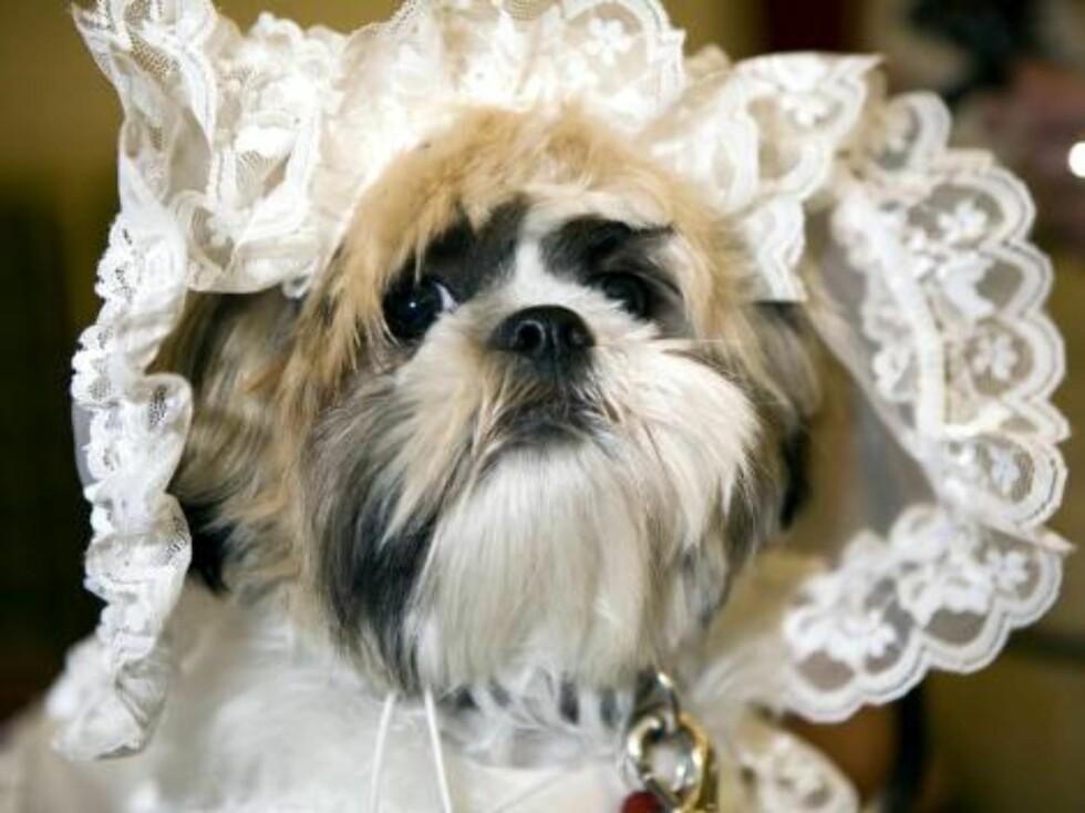 London 2006-09-12  'Dog Wedding' of Muffin (Shih Tzu) & Timmy (Bichon Frise) at Harrdos.  Pic shows: The bride Muffin   Photo: David Graham/UPPA/Photoshot  Code:4034/ UDG023602  COPYRIGHT STELLA PICTURE Foto: Stella Pictures