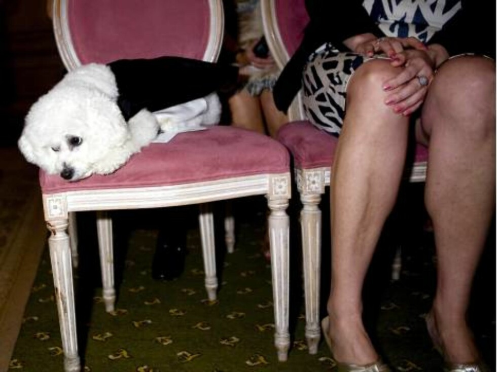 London 2006-09-12  'Dog Wedding' of Muffin (Shih Tzu) & Timmy (Bichon Frise) at Harrdos.  Pic shows: The nervous bridegroom Timmy awaits arrival of the bride Muffin.   Photo: David Graham/UPPA/Photoshot  Code:4034/ UDG023602  COPYRIGHT STELLA PICTURE Foto: Stella Pictures