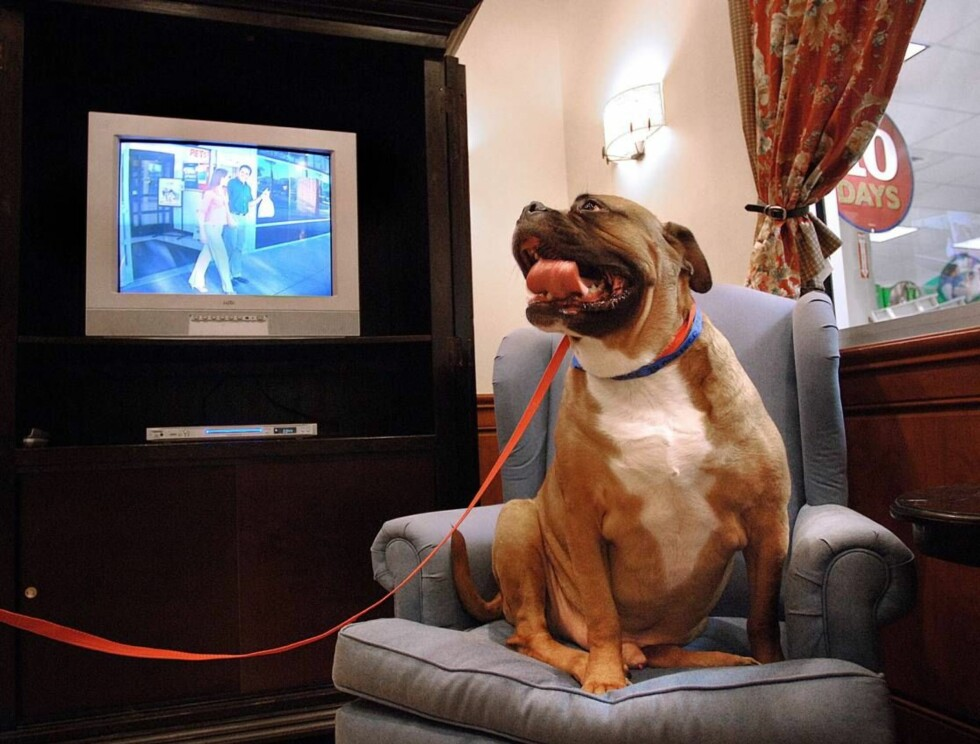 """- NÅR GÅR """"POLITIHUNDEN REX""""?: Gjestene på PetsHotel har hver sin TV på rommet. Foto: STELLA PICTURES"""