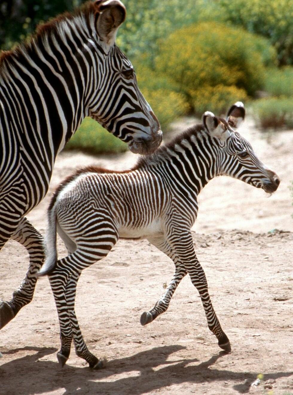 SØT SKAPNING: Er du slem mot denne stripete tassen, får du dyrevernere på nakken! Foto: All Over Press