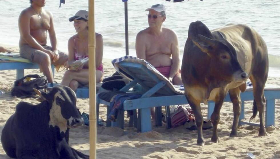 HELLIGE FERIEDAGER: På stranda i Goa kan du sole deg sammen med kuene, men husk at de er hellige. Foto: Se og Hør