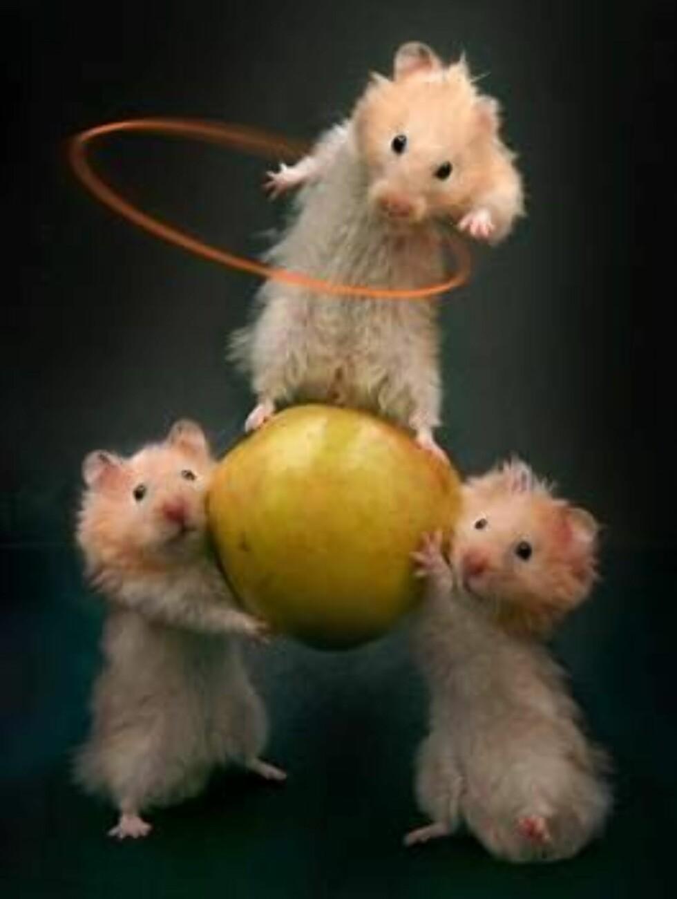 Når katten er borte rocker musene på bordet...